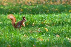 Squirrel on lawn. Ginger squirrel on green grass in autumn park. Squirrel sitting on lawn covered with autumn leaves. Horizontal composition with copy space stock images