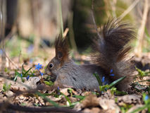 Squirrel laying at blue flowers at the forest Royalty Free Stock Photos