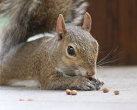 Squirrel laying down while eating. Squirrel laying on the deck closeup as it eats Stock Photo