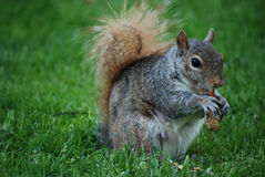 Squirrel Lazily Eating a Peanut from the Shell Royalty Free Stock Photography