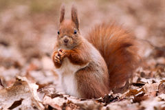 Squirrel on the leaves. Little cute squirrel on the leaves Royalty Free Stock Images