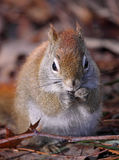 Squirrel on leaves. During fall Royalty Free Stock Photo