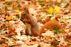 Squirrel and leaves Stock Image
