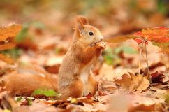 Squirrel in leaves Stock Image
