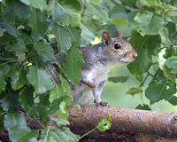 Squirrel in Leaves. An eastern gray squirrel (Sciurus carolinensis) on a branch partly hidden by leaves Royalty Free Stock Images