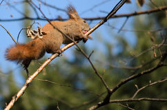 Squirrel licking a branch. With selective focus stock images