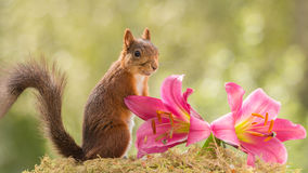 Squirrel lilies Royalty Free Stock Image