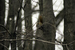 Squirrel on a Limb. A red squirrel hanging out on a limb in the woods royalty free stock image