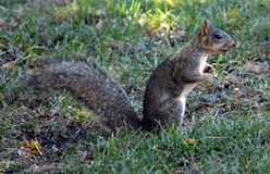 Squirrel listening. Squirrel sitting in the grass listening Stock Photo