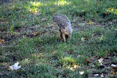 Squirrel listening. Squirrel sitting in the grass listening and looking for acorns Stock Photos