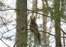 Squirrel. That lives in loval park stock photography