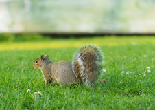 Squirrel. In a local park Stock Photo