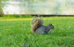 Squirrel. In a local park Stock Photography