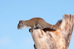 Squirrel on a log. Royalty Free Stock Image