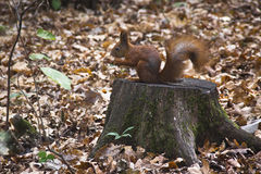 Squirrel on a log holding nut. Happy squirrel got a but to take and hide somewhere Royalty Free Stock Photo