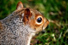 Squirrel - London Stock Image