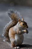 Squirrel in london Stock Images