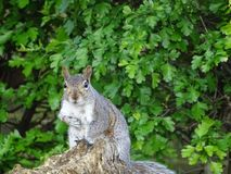 Squirrel in London - City stock photo