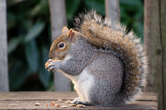 Squirrel in london. Cute squirrel in london/uk Royalty Free Stock Images