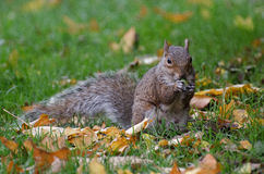 Squirrel in london. Cute squirrel in london/uk royalty free stock photography
