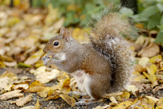 Squirrel in a London park Royalty Free Stock Image