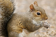 Squirrel in a London park royalty free stock images