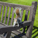 Squirrel in a London Park Stock Image