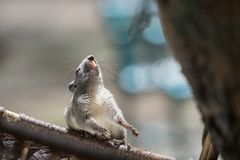 Squirrel with Long and Sharp Fangs in the mouth. Animal in Tropical Regions stock photos