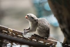 Squirrel with Long and Sharp Fangs in the mouth. Animals Found in Tropical Regions royalty free stock images