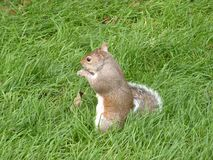 A squirrel with a long tail Royalty Free Stock Photo