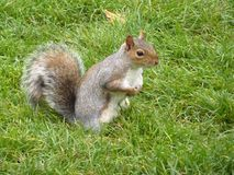 A squirrel with a long tail Royalty Free Stock Images