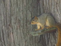Squirrel on the Look Out Royalty Free Stock Images
