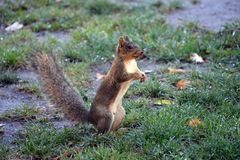 Squirrel looking for acorns. Squirrel in the Autumn looking for acorns in the patchy green grass Stock Photography