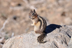 Squirrel looking alert while sitting on a rock Stock Photography