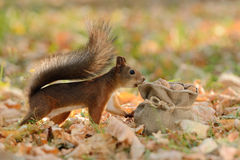 Squirrel looking into a bag with nuts Stock Photos