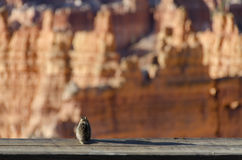 Squirrel looking for Bryce Canyon Royalty Free Stock Image