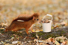 Squirrel looking into a bucket with nuts Royalty Free Stock Image