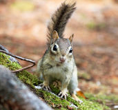 Squirrel looking Royalty Free Stock Images