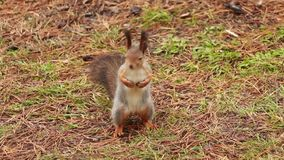 Squirrel looking at camera. The squirrel is looking at the camera standing on two legs stock video footage
