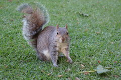 Squirrel looking curiously. And motionless – South Africa Stock Photo