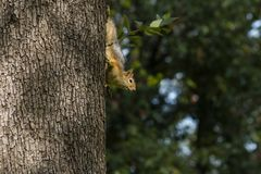 Squirrel on a tree. Squirrel looking down the tree royalty free stock photography