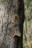 Squirrel on a tree. Squirrel looking down the tree stock photos