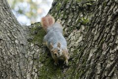 Squirrel on a tree. Squirrel looking down the tree stock photo