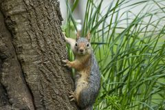 Squirrel on a tree. Squirrel looking down the tree stock images