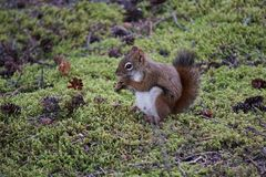 Squirrel looking for food in the forest. Small squirrel looking for food in forest royalty free stock image