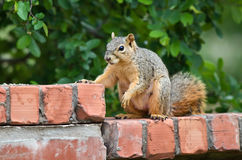 Squirrel looking for food Stock Images