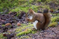 Squirrel looking for food. Small squirrel looking for food in forest stock photography
