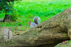 Squirrel looking at me in the St. James Park. stock image