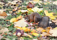 Squirrel is looking for nuts in the fallen leaves Royalty Free Stock Photography