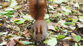 Squirrel looking for nuts stock video
